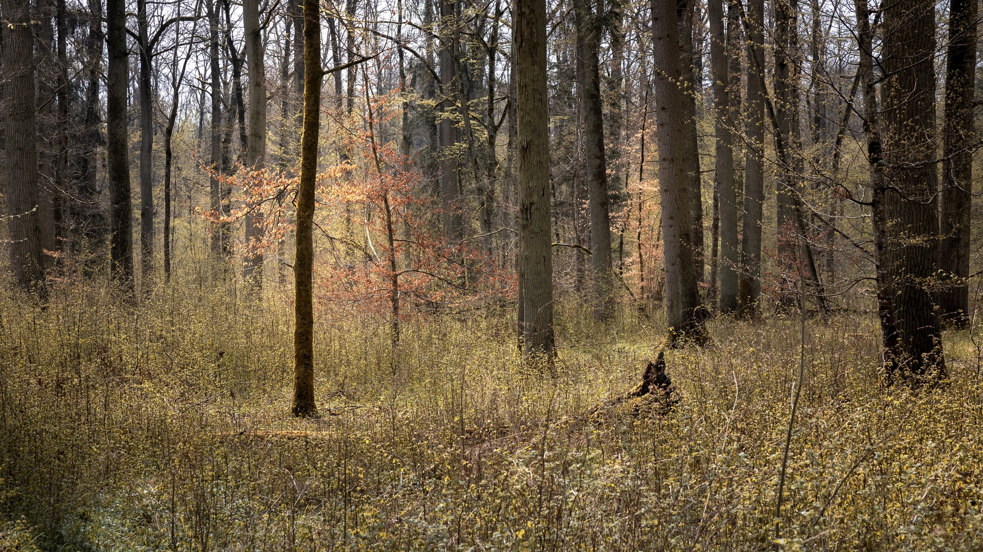 Wald im Frühlingslicht
