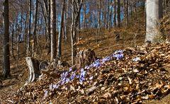 Wald mit Leberblümchen!