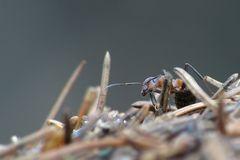 Waldameise auf Ameisenhaufen