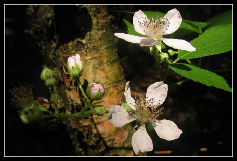 Waldblüte