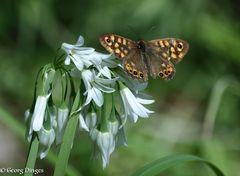 Waldbrettspiel auf Allium (Korsika)