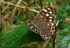 Waldbrettspiel (Pararge aegeria tircis)