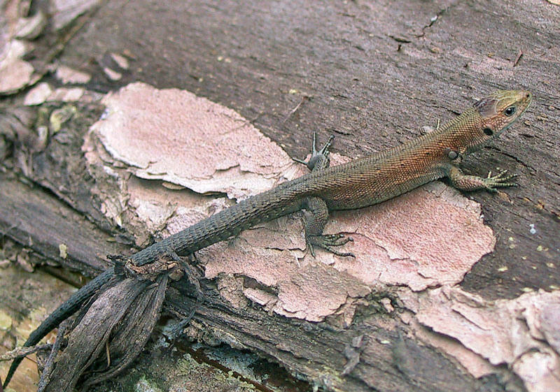 Waldeidechse (Lacerta vivipara)