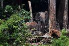 Waldelefanten im Wald (1)