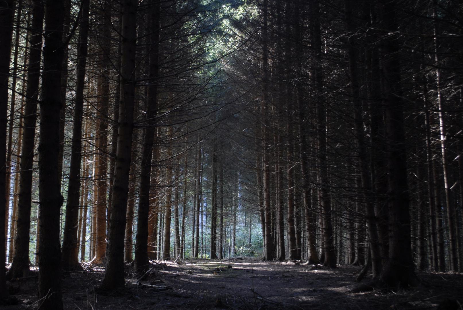 Waldlichtung im Nadelwald 6