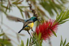 Waldnektarvogel (Hedydipna collaris)
