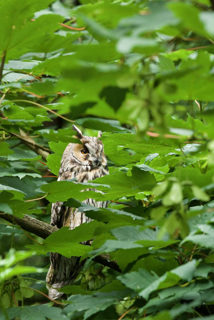 Waldohreule im Nationalpark Bayerischer Wald...