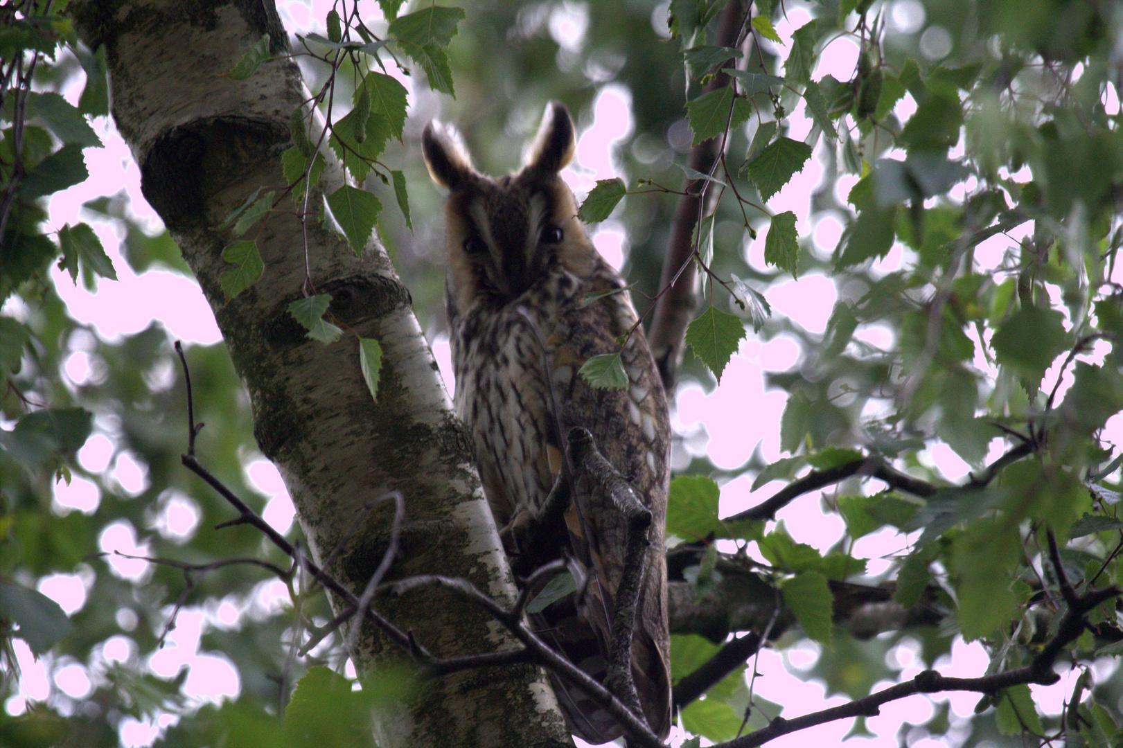 Waldohreule in einer Birke