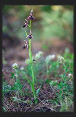 Waldorchidee
