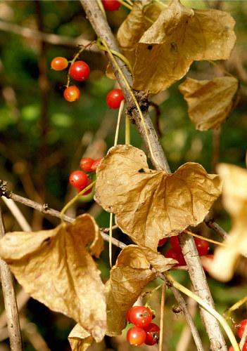 Waldrebe im Herbst