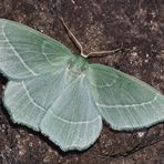 Waldreben-Grünspanner (Hemistola chrysoprasaria) *