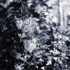Waldreben-September