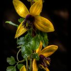 Waldreebe (Clematis)