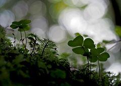 Waldsauerklee (Oxalis acetosella) - L'Oseille des bois...