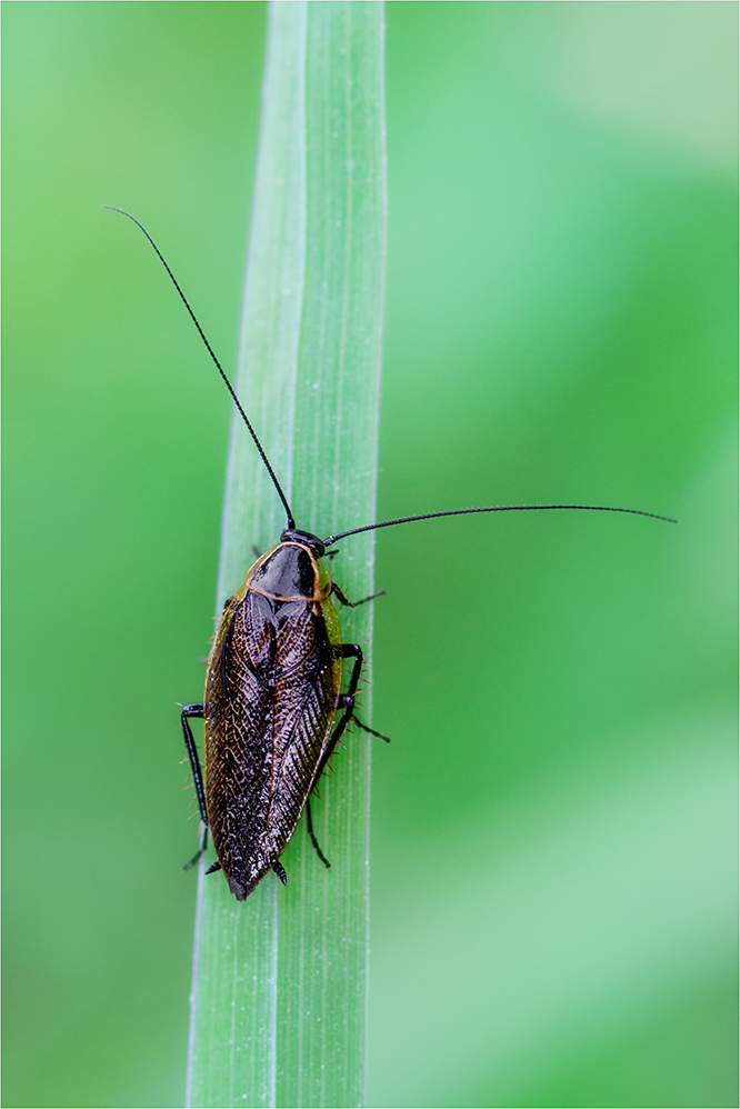 Waldschabe (Ectobius cf. sylvestris)