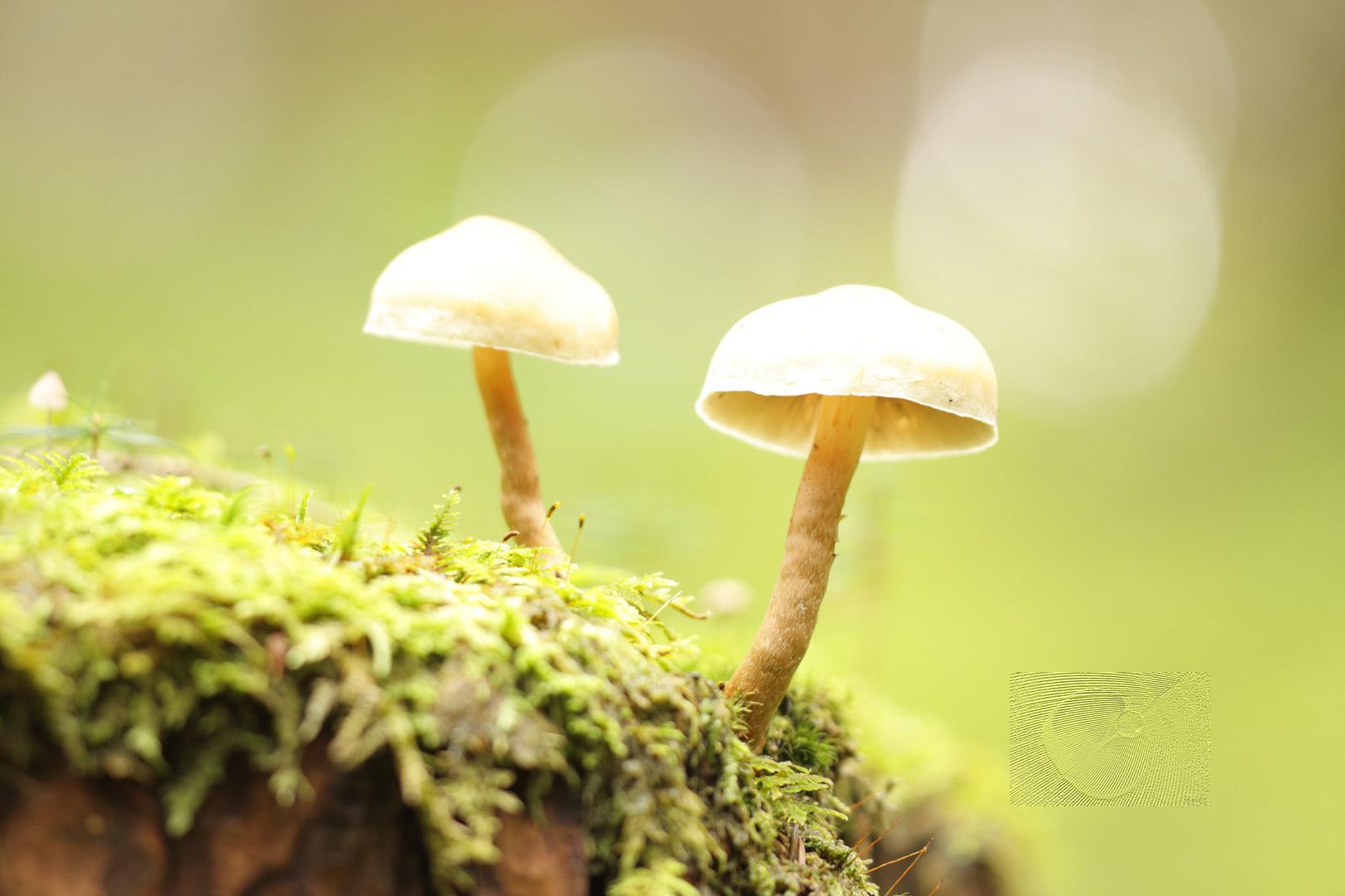 Waldschirmchen