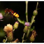 Waldschwebefliege / Hornissenschwebefliege