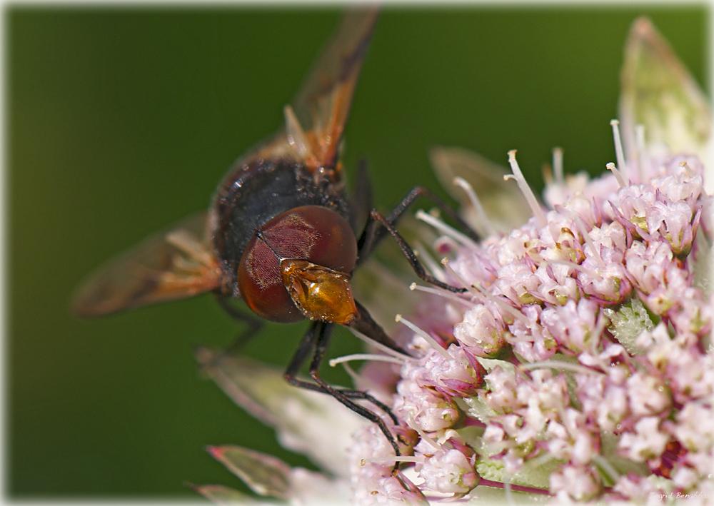 Waldschwebfliege (2)