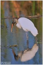 - Waldstorch - Everglades - Florida USA    ( Dia-Scan)