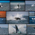 Wale vor der Küste Neufundlands