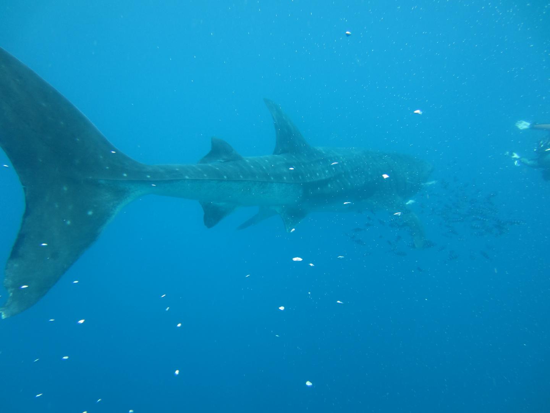 Walhai die Zweite