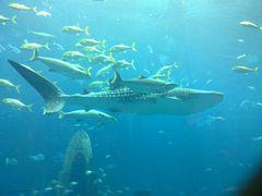 "Walhai ""Sammy"", Palm Jumeirah Atlantis Hotel Aquarium, Dubai, Vereinigte Arabische Emirate"