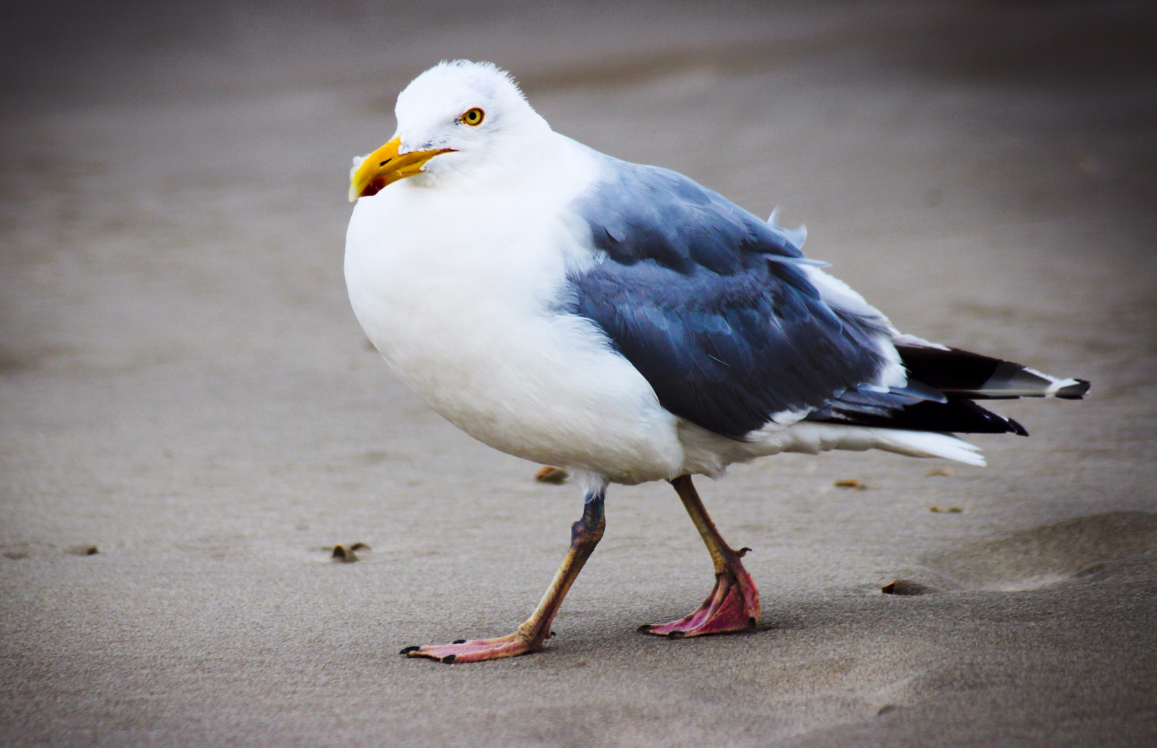 Walking.sea.gull.
