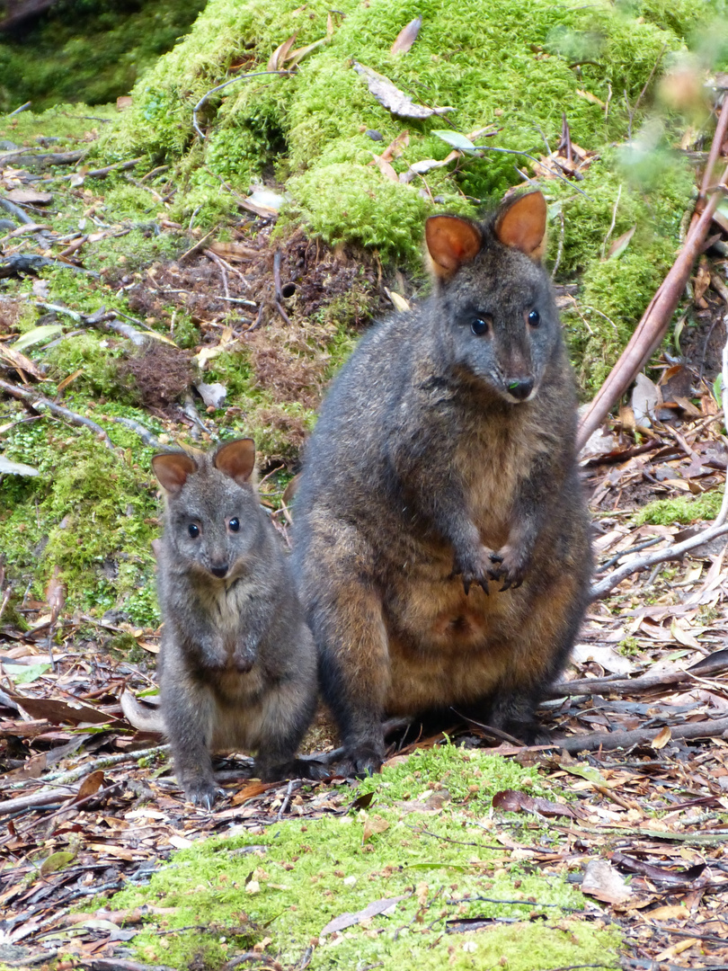 Wallabies - Tasmanien