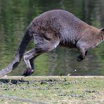 Wallaby en pleine course