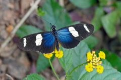 WALLACES LONGWING, HELICONIUS WALLACEI,