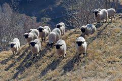 Walliser Schwarznasenschafe - Les moutons du Valais!