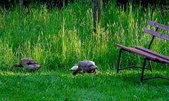 Wally, Wolly und Molly beim Jungnacktschneckenvertilgen***