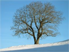 Walnuss-Baum