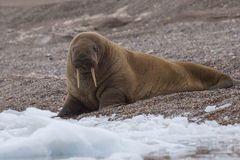 Walross bei Torellneset - Spitzbergen 3