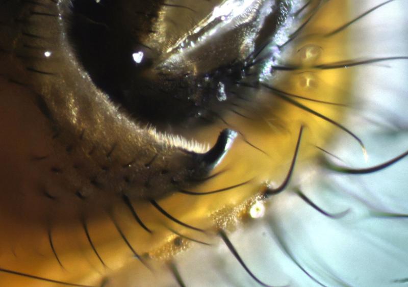 Walrosszahn bei der Fliege