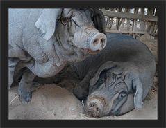 Wan Pauk Piggies