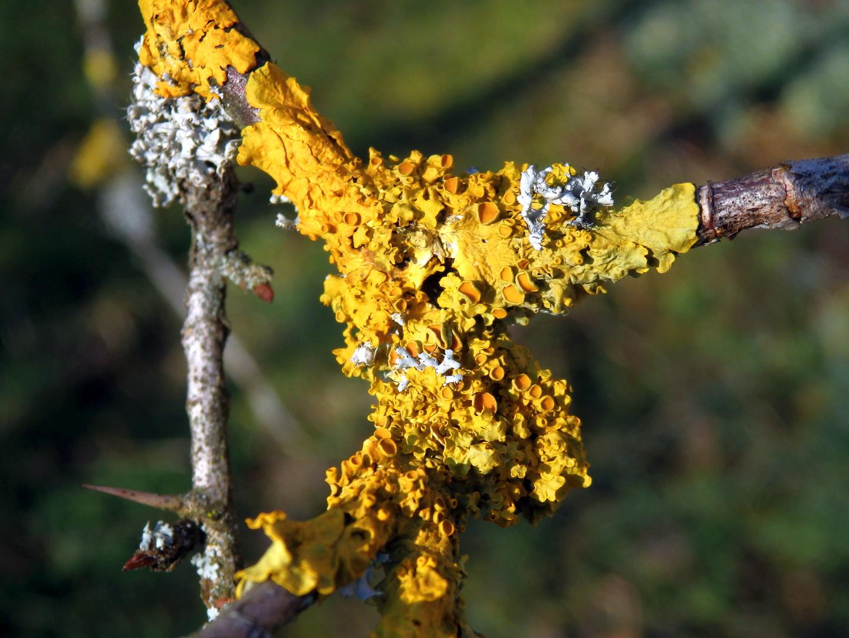 Wand-Gelbflechte (Xanthoria parietina) und Helm-Schwielenflechte (Physcia adscendens)