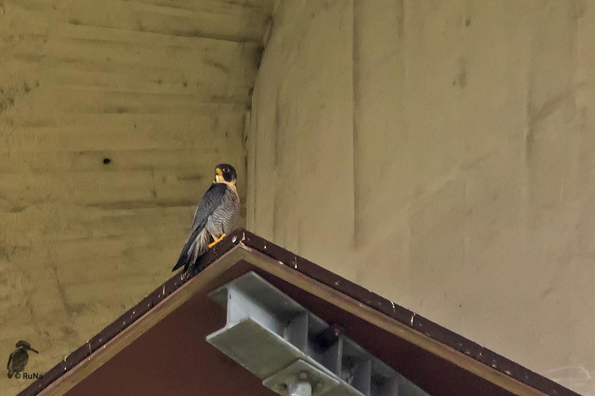 Wanderfalke - Falco peregrinus ...