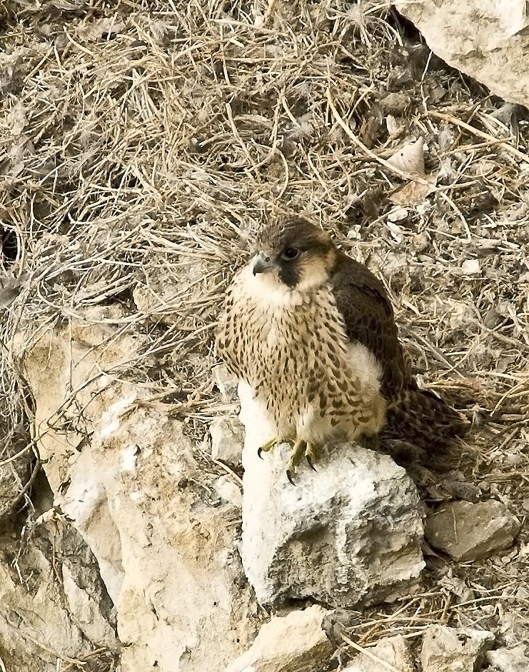 Wanderfalke Jungvogel