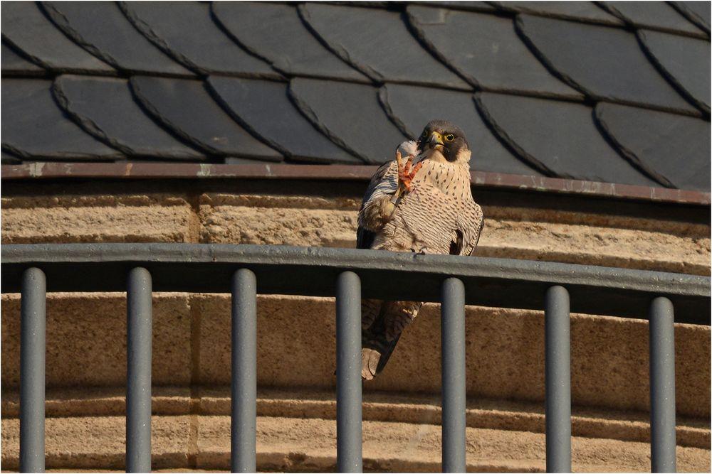 Wanderfalke präsentiert eine Taubenfeder