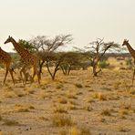Wandernde Giraffenherde