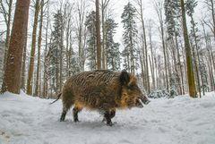 Wanderschwein