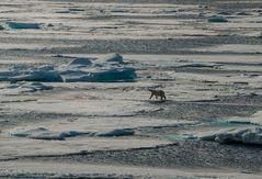 Wanderung auf dem ( schwindendem) .Spitzbergen.     Eis_DSC0488