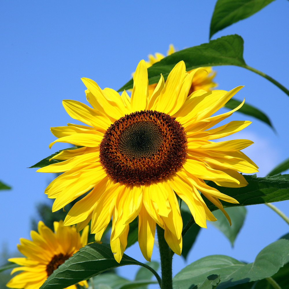 Sonnenblumen Wann Pflanzen