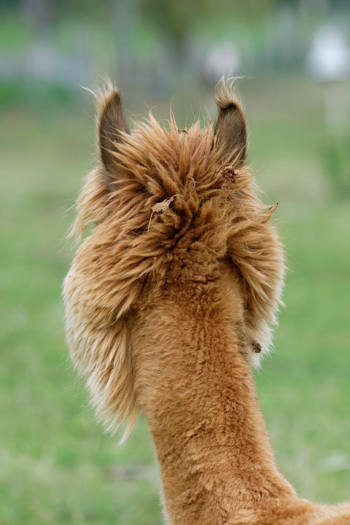 Wanted Alpaca