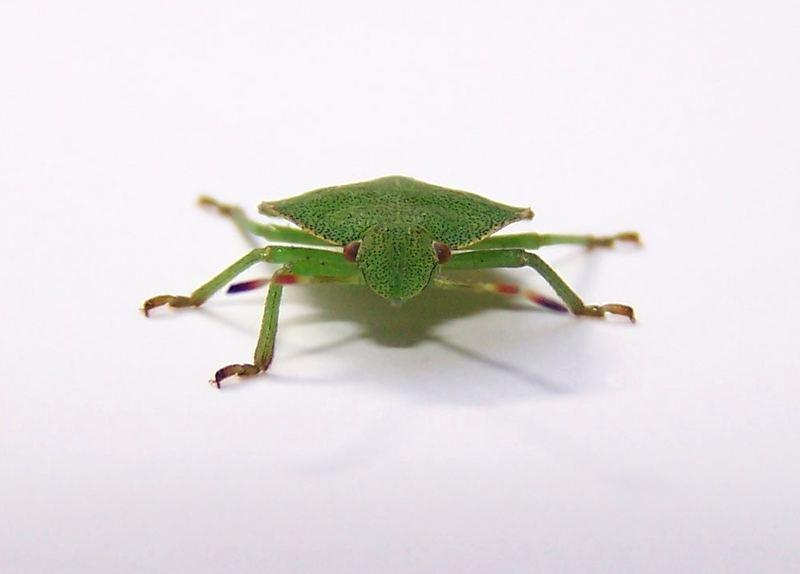 Wanze - 5 Beine - grün