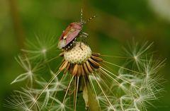 Wanze auf einer Pusteblume