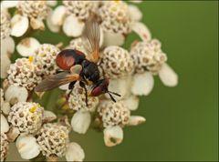 Wanzenfliege der Unterfamilie Phasiinae
