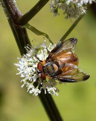 Wanzenfliege (Phasia hemiptera) auf einer kleinen Blütendolde