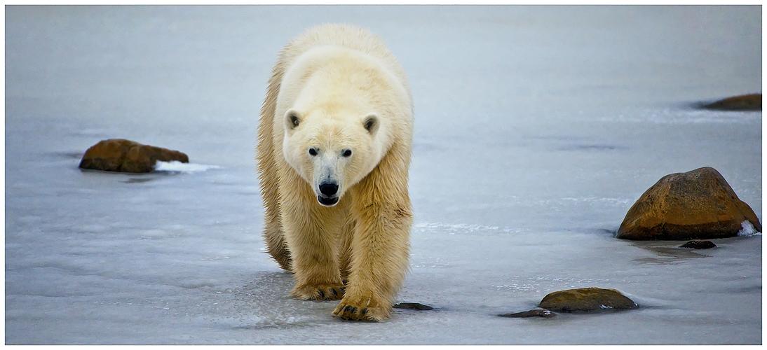 [ Wapusk • White Bear of the North ]